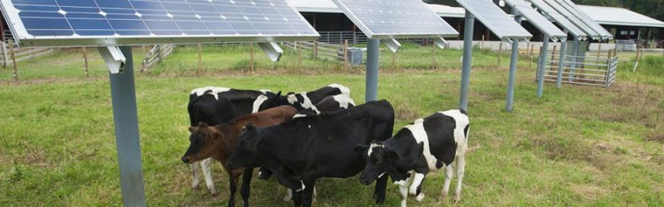 solarpanels-cows